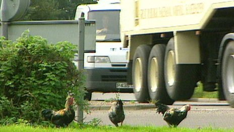 "Chickens on ""chicken roundabout"" at Ditchingham, Norfolk"