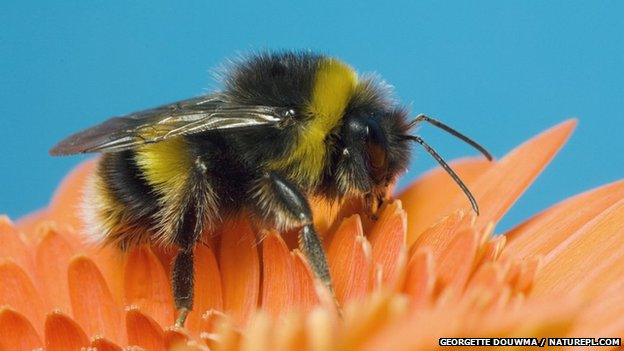 Bumblebee Bombus terrestris on flower