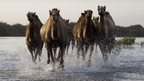 Camels enjoy the water