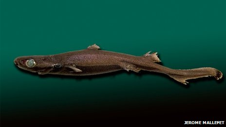 Velvet belly lanternshark