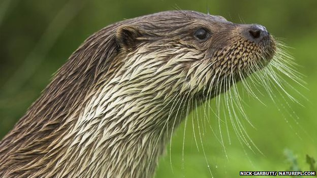 Chemical link to otter penis problem