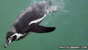 A Humboldt penguin dives