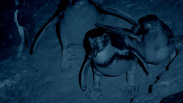 Vampire bat feeds on a Humboldt penguin