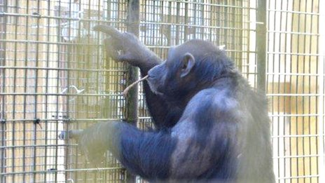 Chimpanzee at Whipsnade Zoo