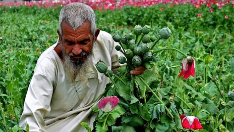 An Afghan farmer collects the poppy flowers destroyed by authorities during an operation against the illegal poppy crops in Sanzeri village near Kandahar, Afghanistan on Tuesday, April 19, 2005