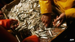 Catch of sardines and anchovies