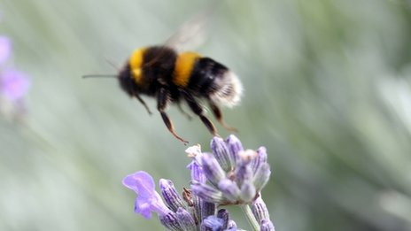 Bumblebee and lavender