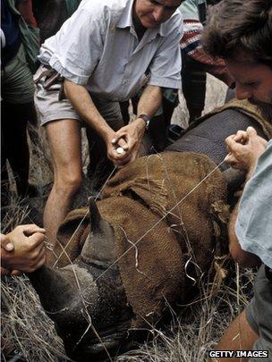 Rhino dehorned