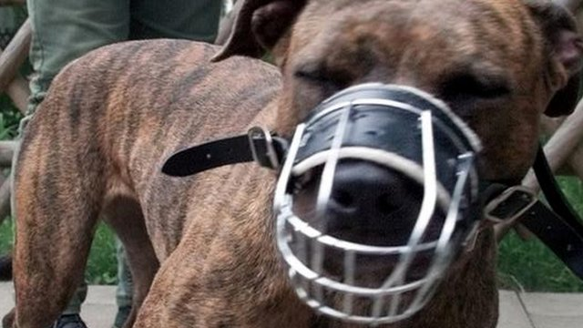 A muzzled and leashed pitbull terrier