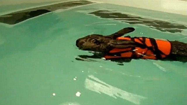 Heidi the rabbit has hydrotherapy