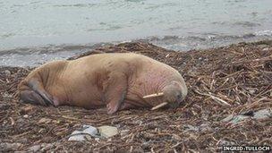 walrus on beach in Orkney