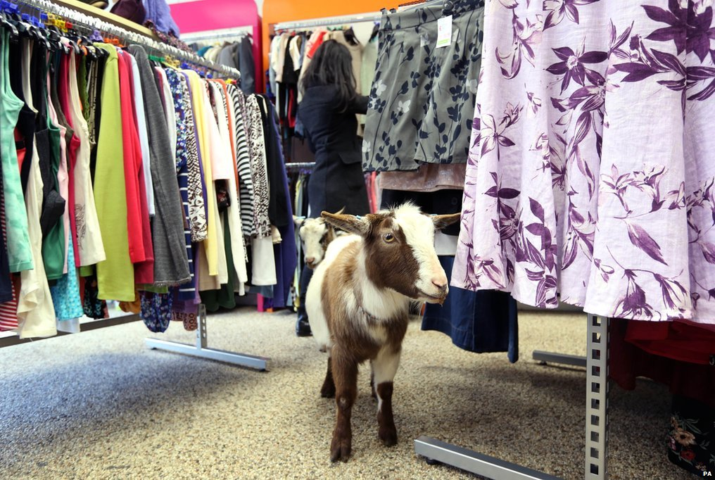 Goats in an Age UK charity shop in Romford, east London