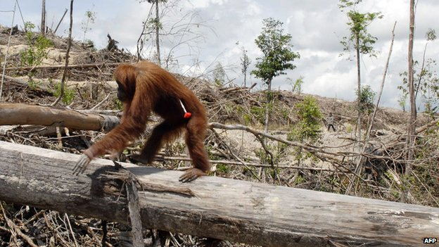 An oranutan shot with tranquiliser dart to relocate him from a new palm oil plantation in Borneo  AFP/Getty