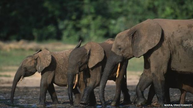 African forest elephants by water