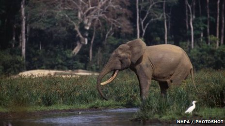 African forest elephant bull
