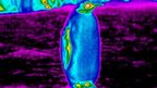 Thermal image of emperor penguin in Antarctica
