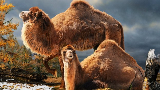 Artist's impression of the high arctic camel