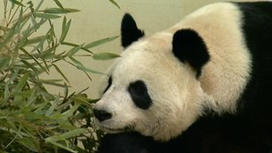 Female panda Tian Tian