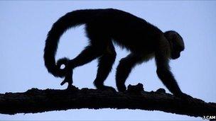 Capuchin monkey (Image: Jordi Cam)