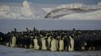 Emperor penguin breeding colony