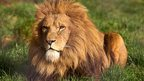 Fencing off lions 'could save them'
