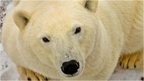 Tight vote expected on polar bears