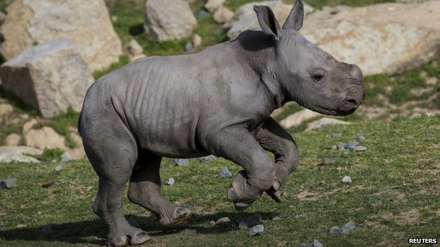 Kayode, baby southern white rhino