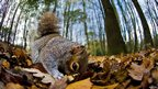 Grey squirrel searching for nuts