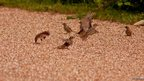 Weasel chasing sparrows
