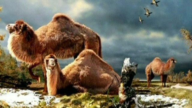 Arctic camel illustration