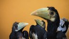 Three two-month old Oriental Pied Hornbills