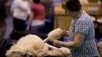 A standard poodle is groomed by its owner during the second day of the Crufts dog show