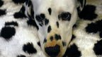 A Dalmatian rests its head on a pillow at the Crufts dog show
