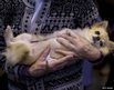 A woman with her Chihuahua during the second day of the Crufts dog show
