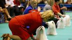 Maltese dogs are lined up for the judge during the second day of the Crufts Dog Show in Birmingham