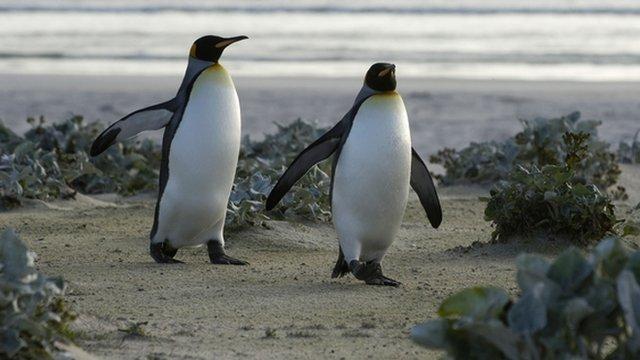Penguins on Falklands Islands - file photograph