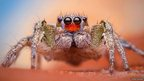 Habronattus virgulatus male spider