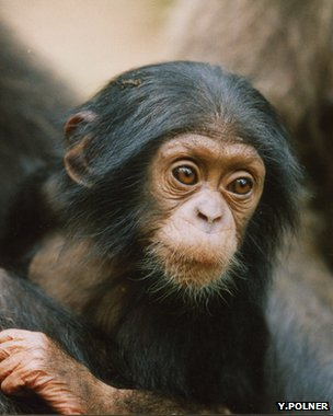 Young Nigeria-Cameroon chimpanzee (Image: Yvonne Polner)