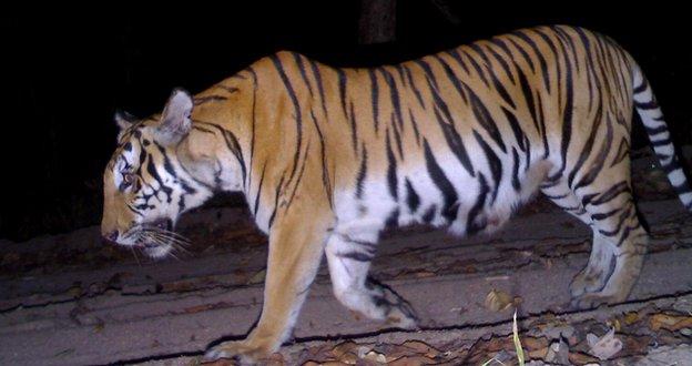 Tiger - camera trap