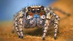 Unknown Habronattus male spider