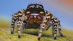 Habronattus pugilis male spider