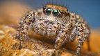 Habronattus pugilis female spider