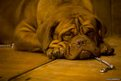Mimi, a Dogue de Bordeaux