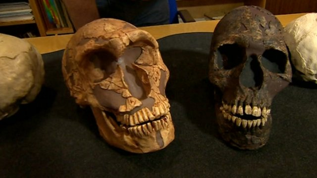 Neanderthal skull and a modern skull