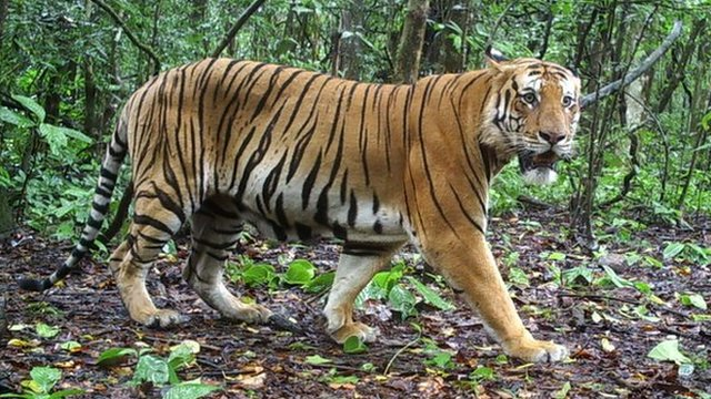 Deadly poison threat to tigers
