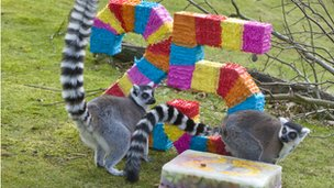 Lemur twins at Whipsnade Zoo