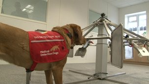 Daisy - trained to sniff out prostate cancer