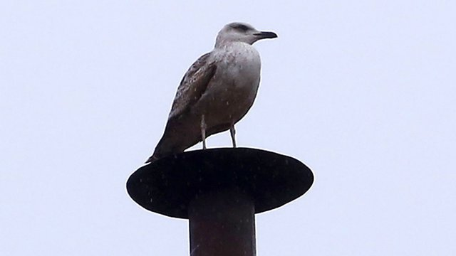 Seagull perches on Sistine Chapel chimney