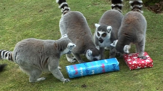 Lemurs with presents
