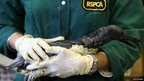 Staff at the RSPCA West Hatch Wildlife Centre hold a guillemot that has been covered in margarine to help clean it